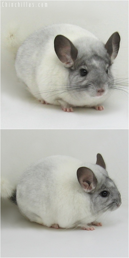 7140 Show Quality White Mosaic L1340 Son Chinchilla