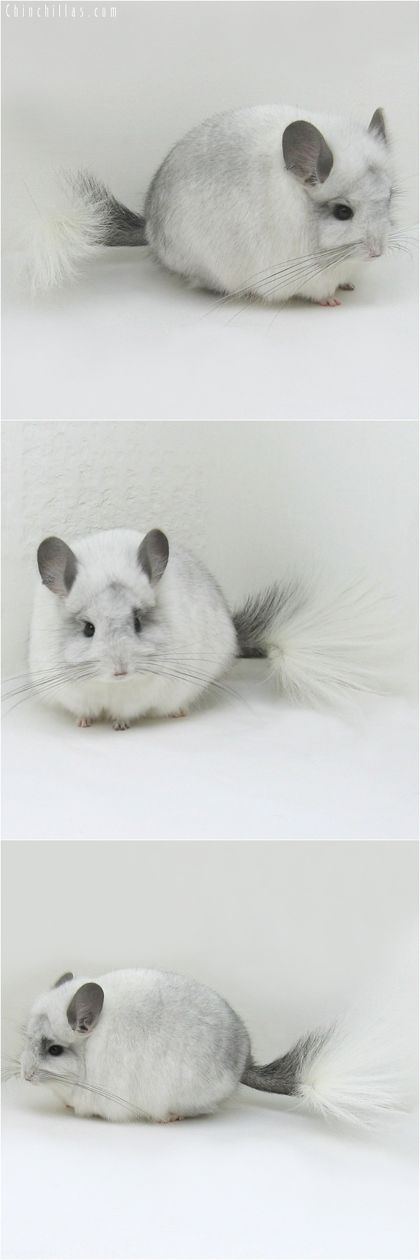 7142 White Mosaic Royal Persian Angora Male Chinchilla