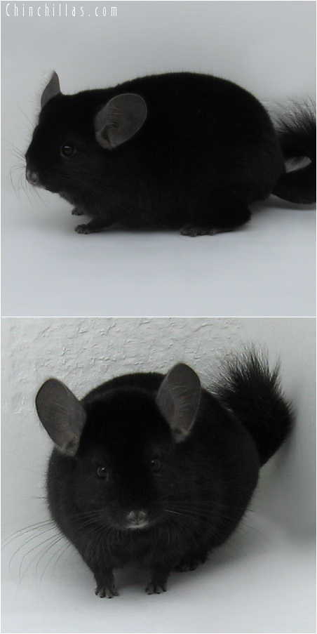 7094 Large Show Quality Ebony Male Chinchilla