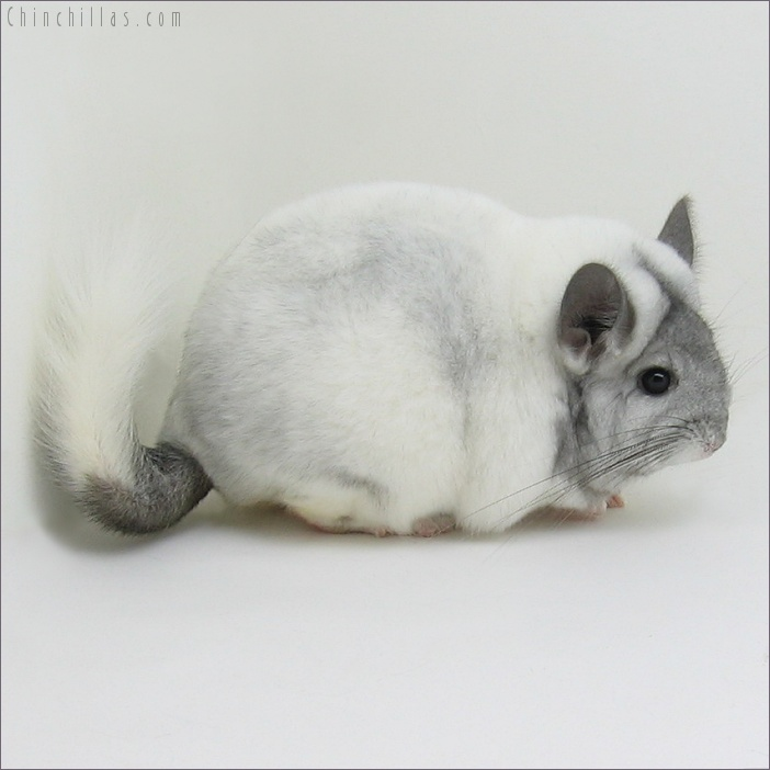 7165 Blocky Ebony & White Mosaic Female Chinchilla