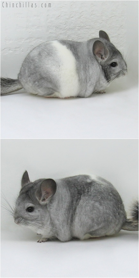 7152 Large Show Quality Silver Mosaic Female Chinchilla