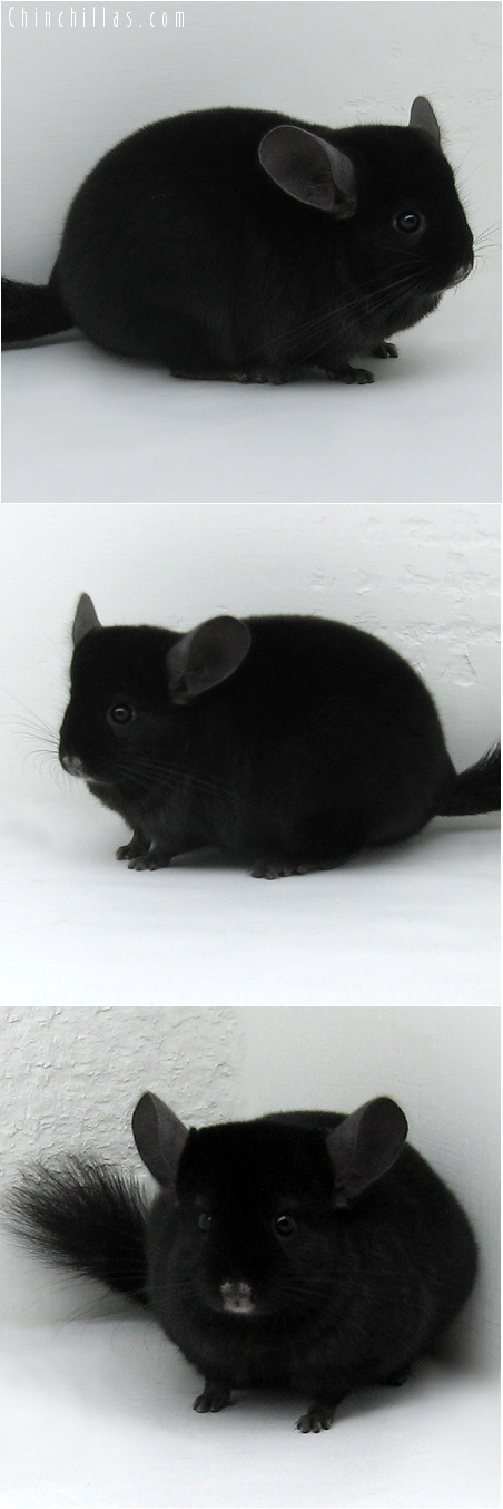 7116 Premium Production Quality Ebony Female Chinchilla
