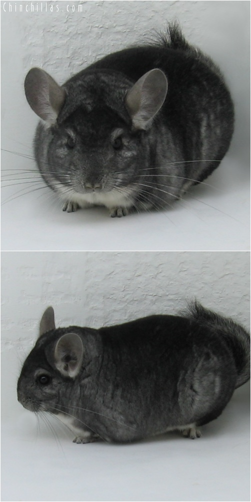 7055 Show Quality Standard Male Chinchilla