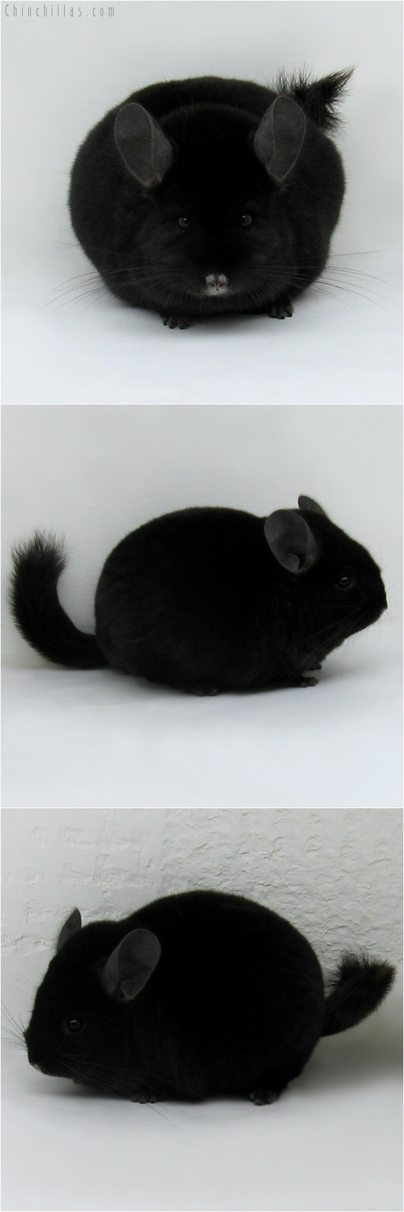 7164 Large Show Quality TOV Ebony Female Chinchilla