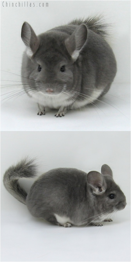 7144 Large Show Quality Violet Female Chinchilla