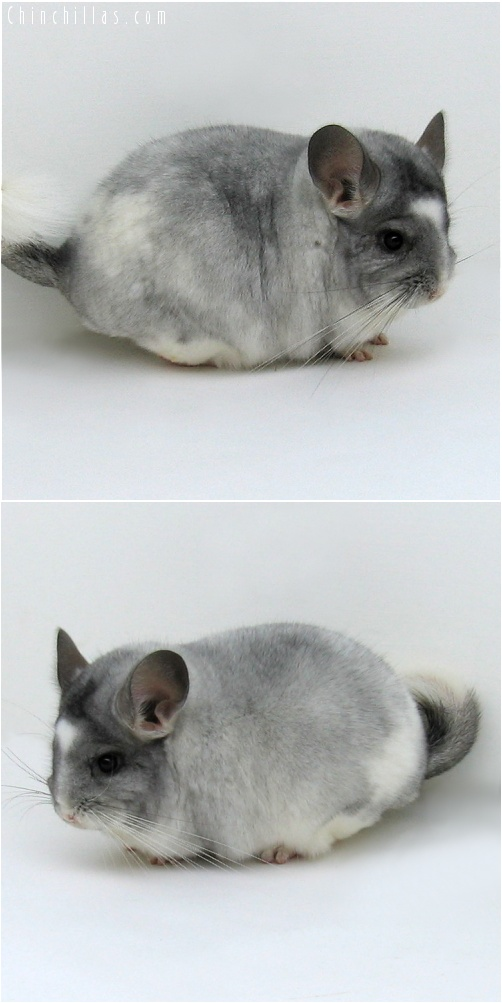 7153 Show Quality Silver & White Mosaic Male Chinchilla