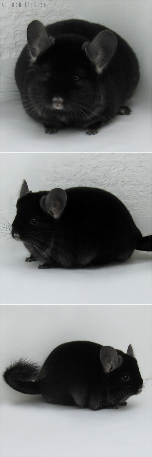 7176 Premium Production Quality TOV Ebony Female Chinchilla