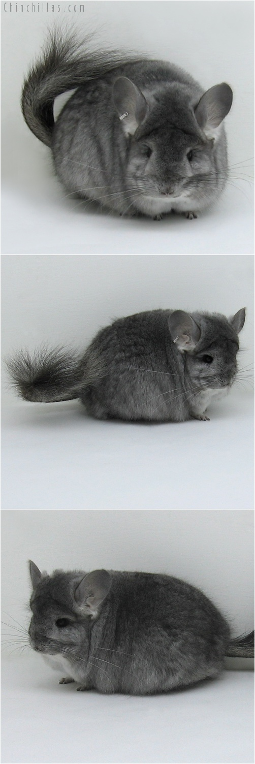 7218 Standard Royal Persian Angora Female Chinchilla