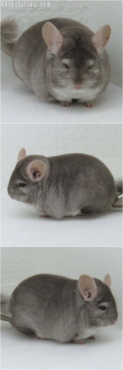 7078 Large Premium Production Quality Beige Female Chinchilla