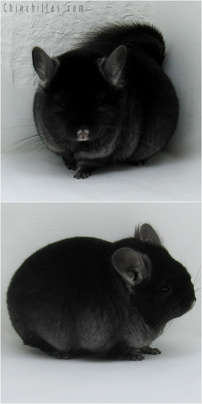 7205 Premium Production Quality TOV Ebony Female Chinchilla