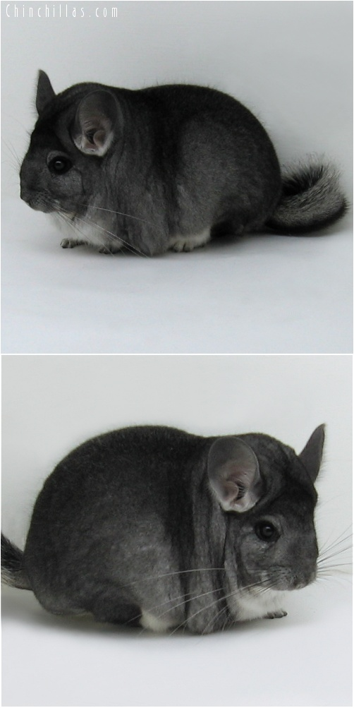 7162 Extra Extra Large Premium Production Quality Standard Female Chinchilla