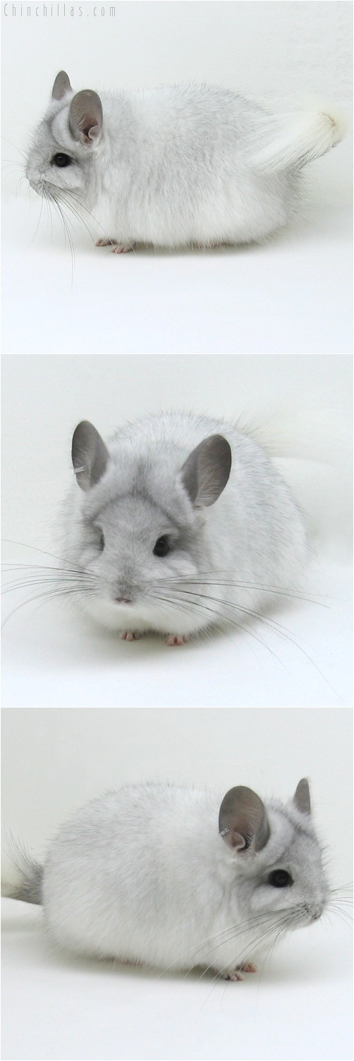 7223 Exceptional White Mosaic Royal Persian Angora Female Chinchilla