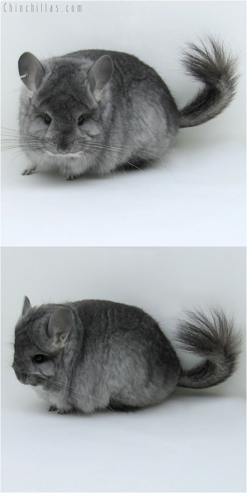 7222 Standard Royal Persian Angora Female Chinchilla