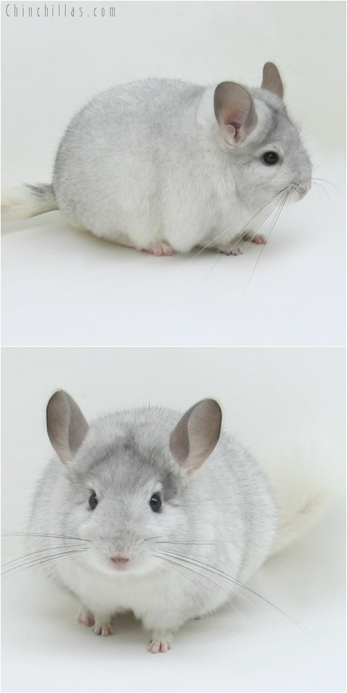 7224 White Mosaic ( Sapphire Carrier ) Female Chinchilla