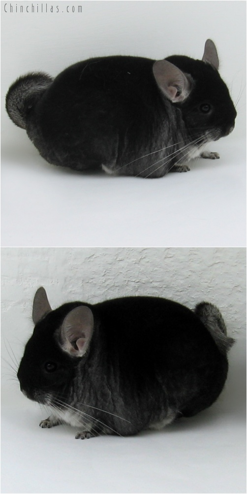 7231 Large Herd Improvement Quality Black Velvet Male Chinchilla