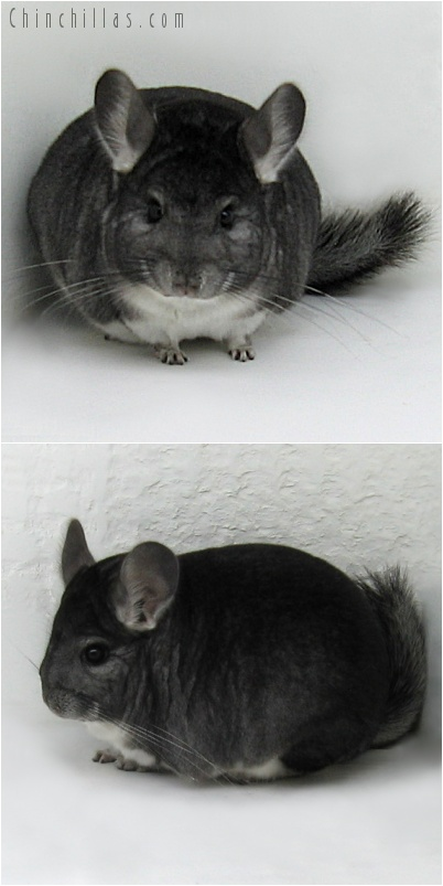 7151 Show Quality Standard Female Chinchilla