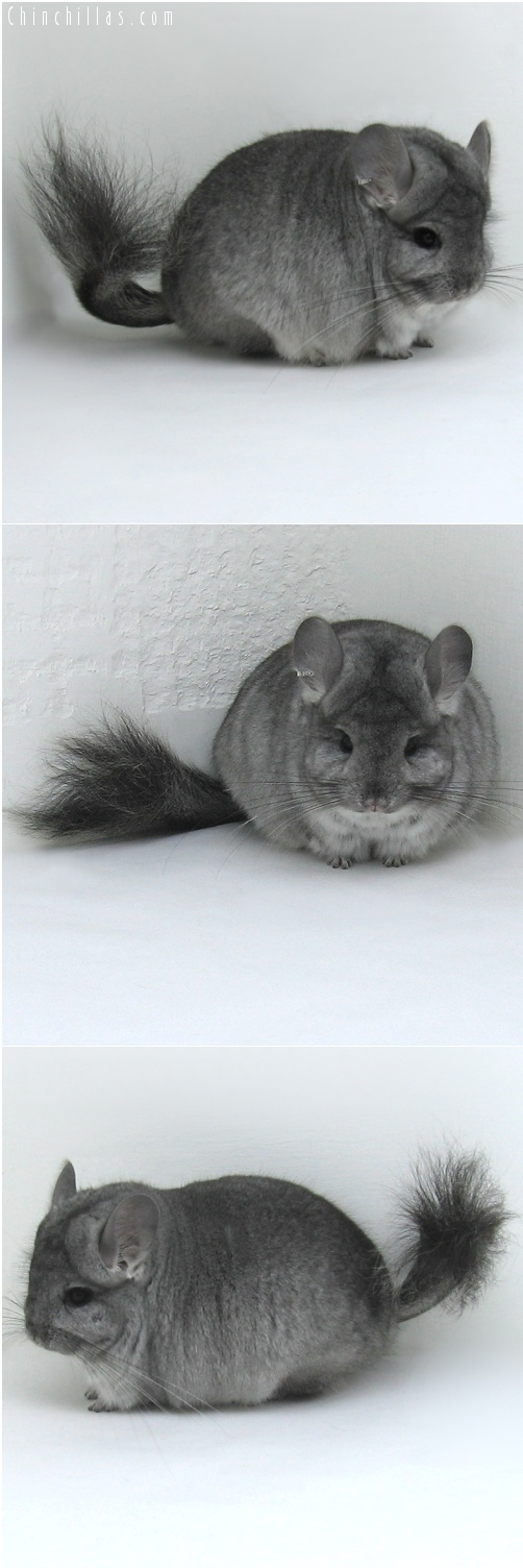 7233 Standard Royal Persian Angora Male Chinchilla
