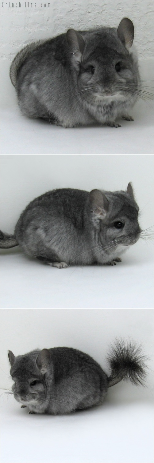 7237 Standard Royal Persian Angora Female Chinchilla