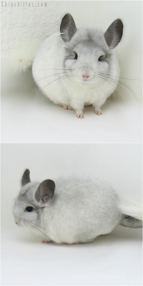 7238 White Mosaic ( Royal Persian Angora Carrier ) Female Chinchilla