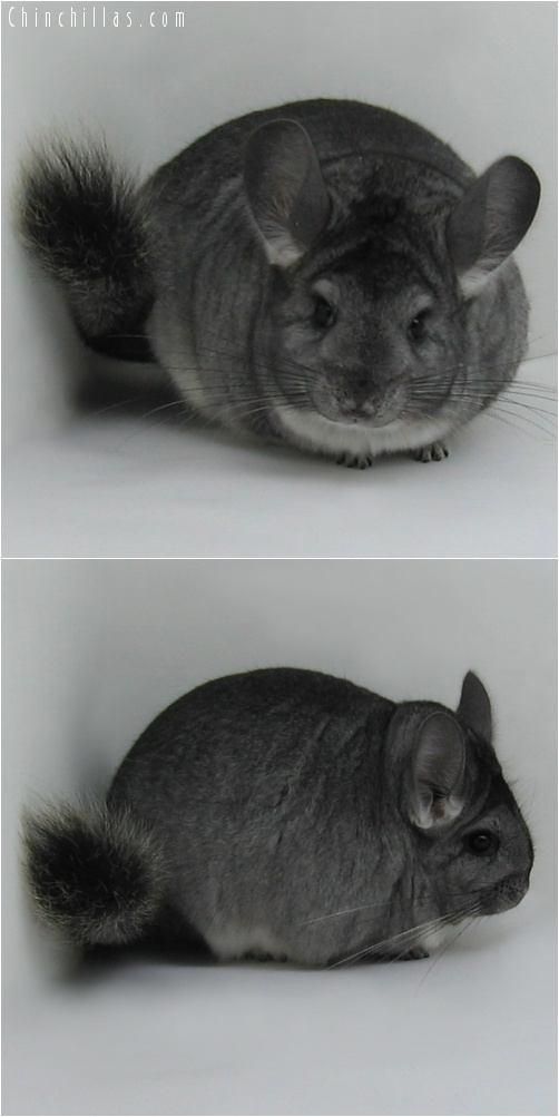 7163 Extra Large Show Quality Standard ( Violet Carrier ) Female Chinchilla