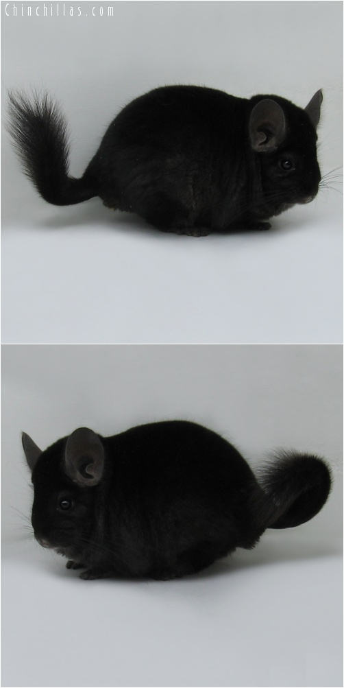7180 Large Show Quality Ebony Male Chinchilla