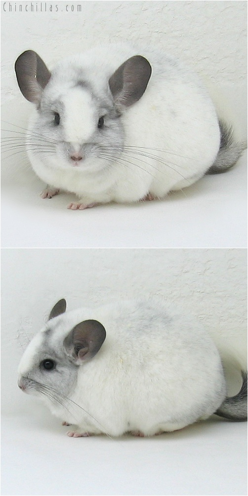 7235 Large Show Quality Splotchy White Mosaic Female Chinchilla