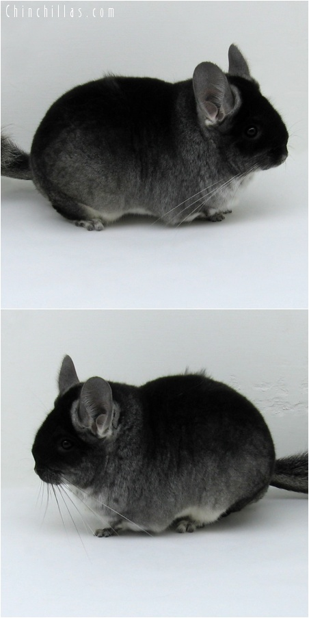 7220 Extra Large Show Quality Black Velvet ( Violet Carrier ) Female Chinchilla