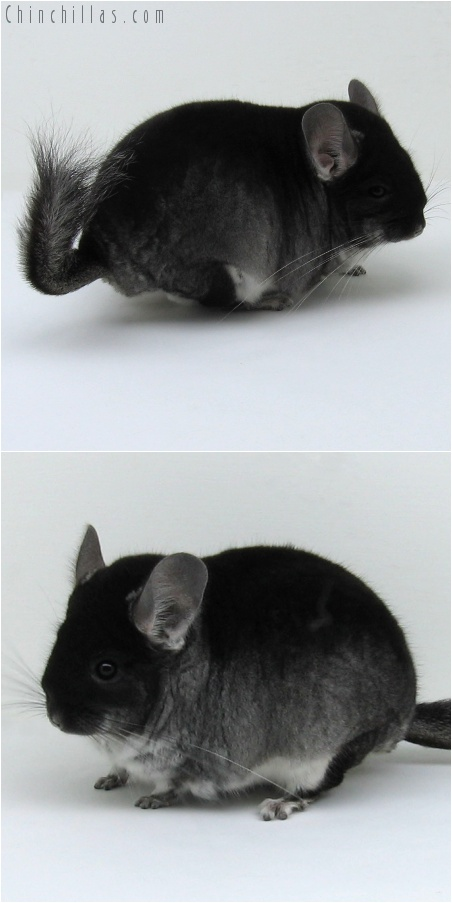 7215 Large Top Show Quality Black Velvet ( Violet Carrier ) Male Chinchilla
