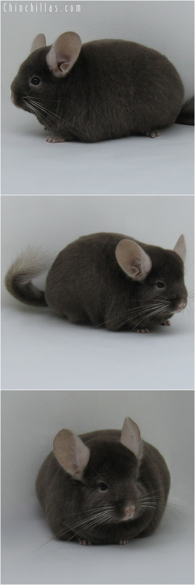 7204 Large Show Quality Dark Tan Female Chinchilla
