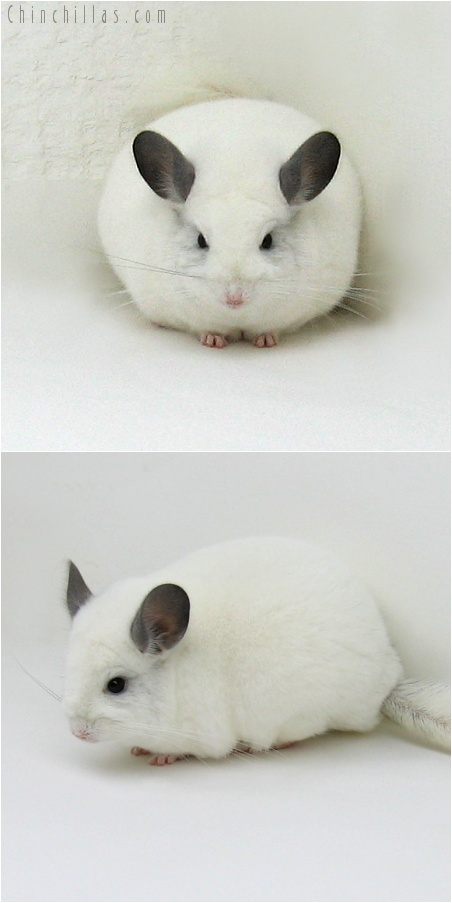 8008 Premium Production Quality Predominantly White K887 Daughter Chinchilla