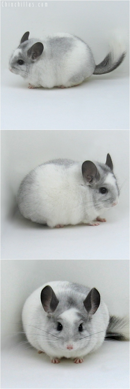 7249 Large Splotchy Show Quality White Mosaic K887 Son Chinchilla