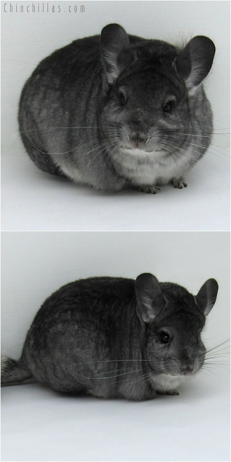 7243 Show Quality Standard Female Chinchilla