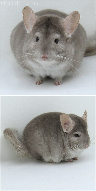 8018 Show Quality Beige Male Chinchilla