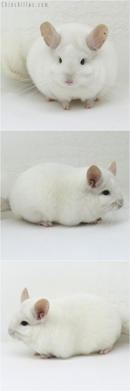 7195 Premium Production Quality Pink White Female Chinchilla