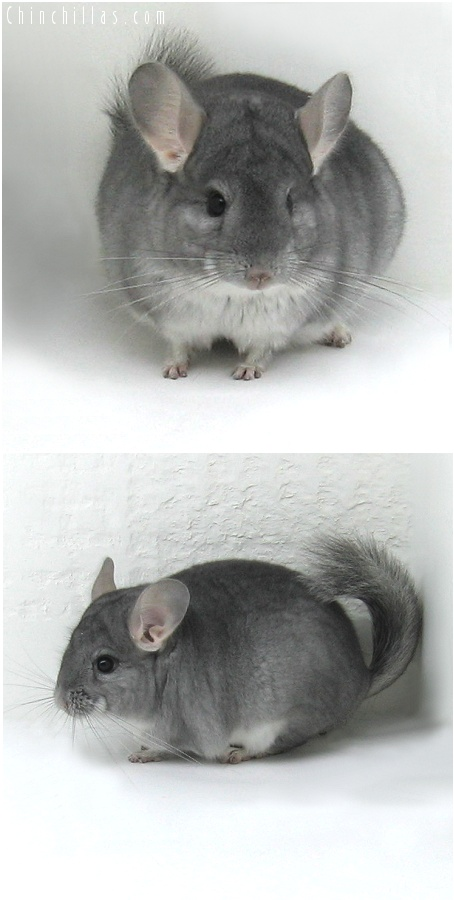 8042 Top Show Quality Sapphire Male Chinchilla