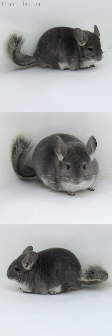8047 Large Violet Female Chinchilla