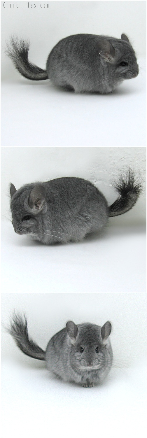 8036 Standard Royal Persian Angora Female Chinchilla