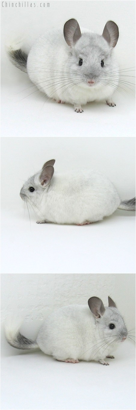 8057 Silver Mosaic ( Sapphire Carrier ) Male Chinchilla