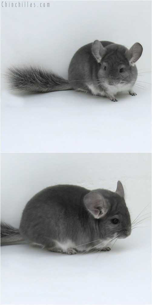 8071 Show Quality Violet ( Ebony Carrier ) Male Chinchilla