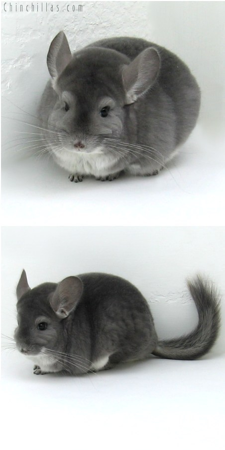 8061 Extra Large Premium Production Quality Violet ( Ebony Carrier ) Female Chinchilla