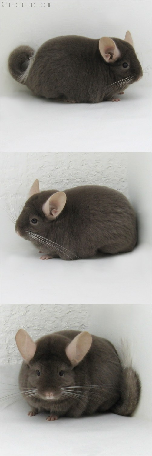 8104 Large Show Quality Dark Tan Female Chinchilla
