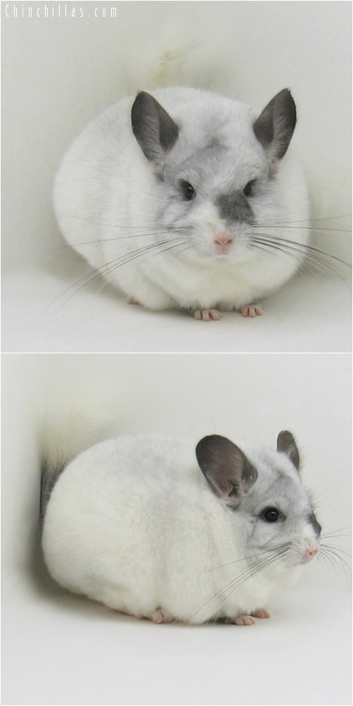 8109 Large Show Quality Extreme White Mosaic Female Chinchilla