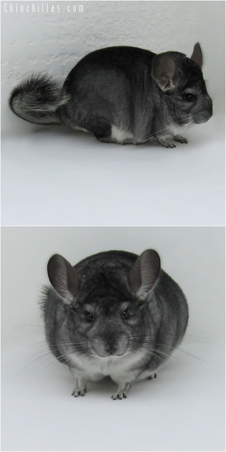 8039 Exceptionally Large Show Quality Standard ( Violet Carrier ) Male Chinchilla