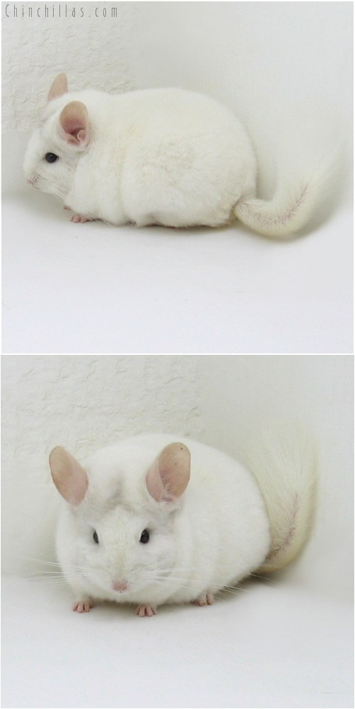 8087 Large Premium Production Quality Blocky Pink White Female Chinchilla