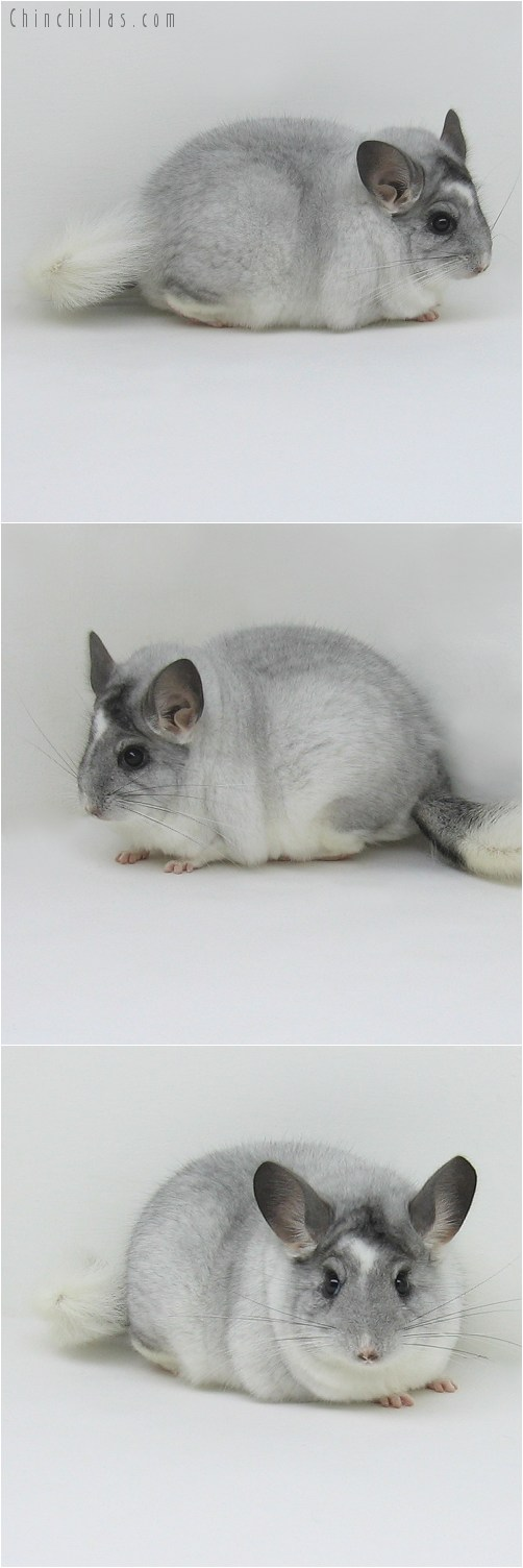 8115 Unique Extra Large Show Quality White Mosaic Male Chinchilla