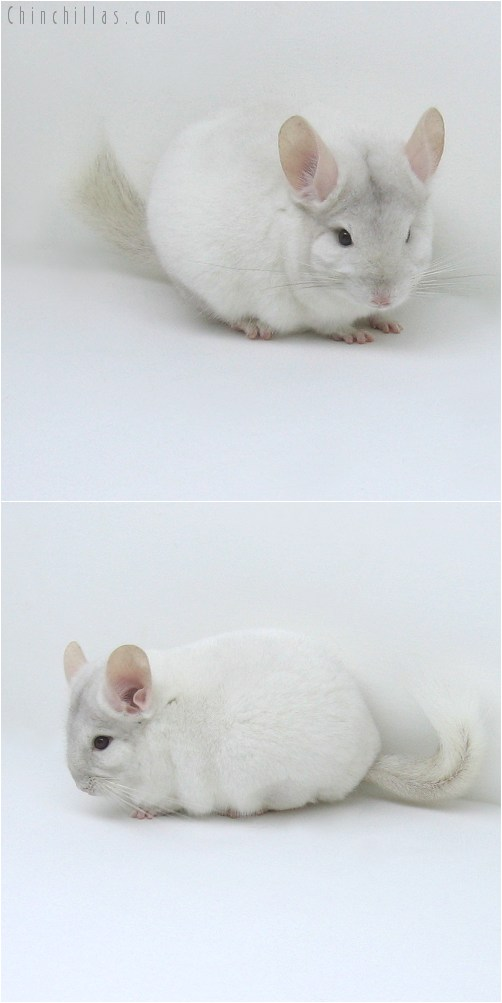 8082 Large Top Show Quality Pink White Male Chinchilla