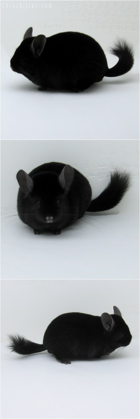 8067 Top Show Quality Extra Dark Ebony Male Chinchilla