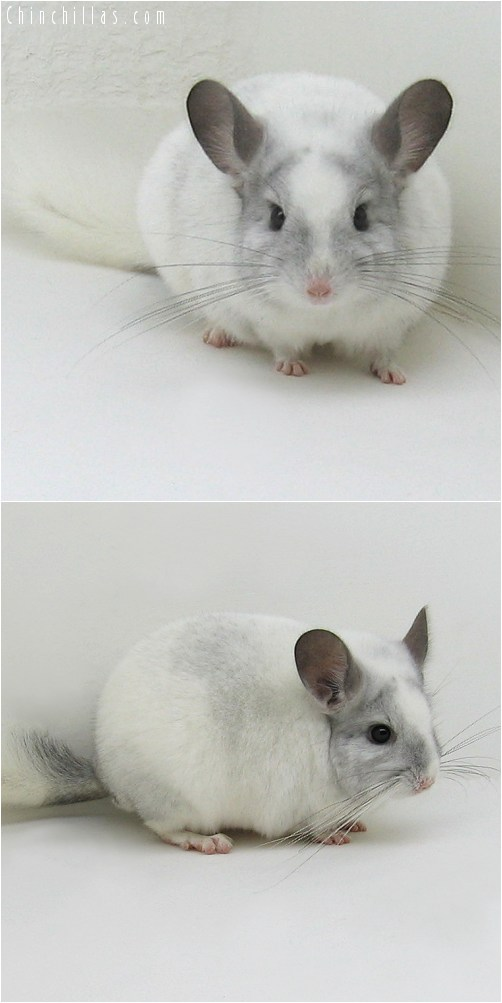 8103 Show Quality White Mosaic ( Ebony & Violet Carrier ) Male Chinchilla