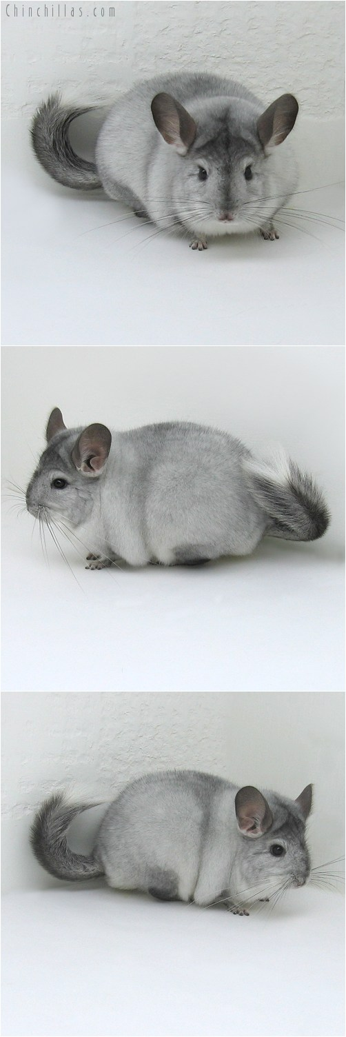 8086 Large Show Quality White Mosaic ( Ebony Carrier ) Female Chinchilla