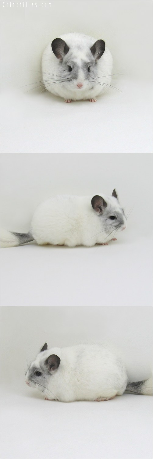 8126 Large Premium Production Quality White Mosaic Female Chinchilla